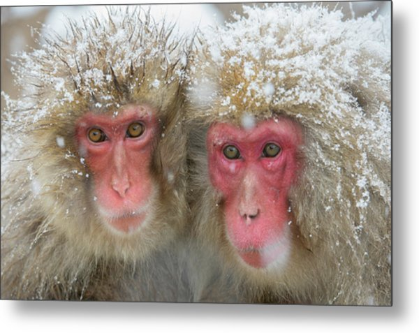 Japanese Macaques Metal Print by Dr P. Marazzi