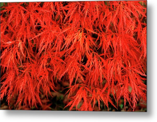 Japanese Maple 'dissectum Nigrum' Metal Print by Andrew Ackerley/science Photo Library