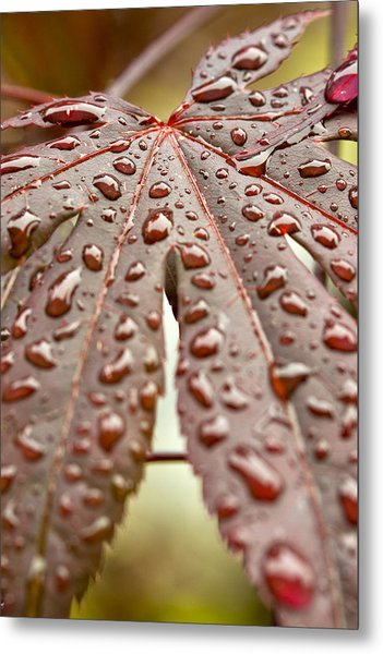 Japanese Maple Tree Leaf Waterdrops Metal Print