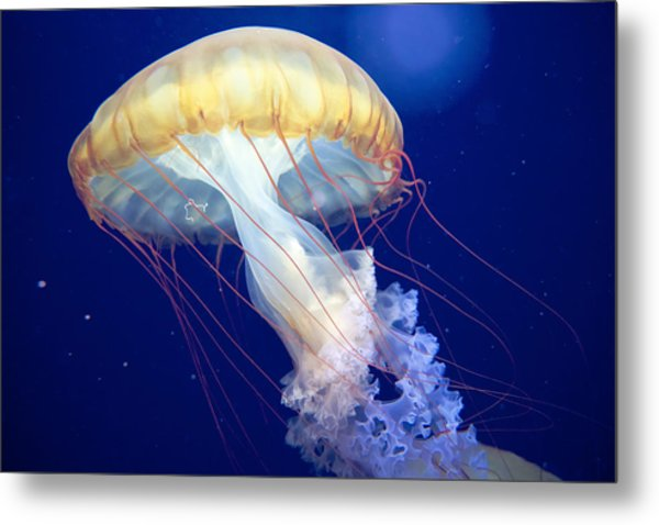 Japanese Sea Nettle Chrysaora Pacifica Metal Print