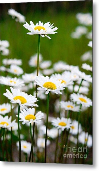 Jasper - Oxeye Daisy Wildflower 2 Metal Print