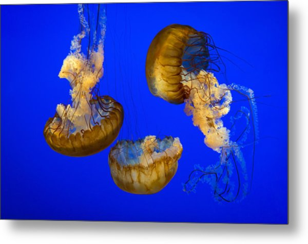 Jellyfish Sea Nettle Marine Life - Ripleys Aquarium Gatlinburg Tn Metal Print