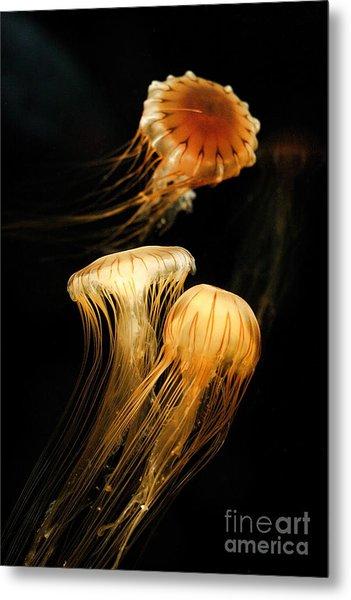 Jellyfish Trio Floating Against A Black Metal Print