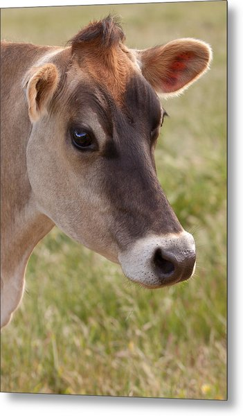 Jersey Cow Portrait Metal Print