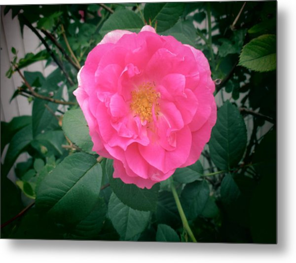 June Rose I Metal Print