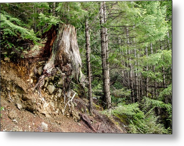 Just Hanging On Old Growth Forest Stump Metal Print