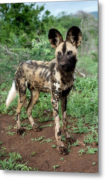 Juvenile African Hunting Dog Metal Print by Tony Camacho/science Photo Library