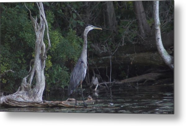 Juvenile Blue Heron At Manistee National Park Metal Print by Rosemarie E Seppala