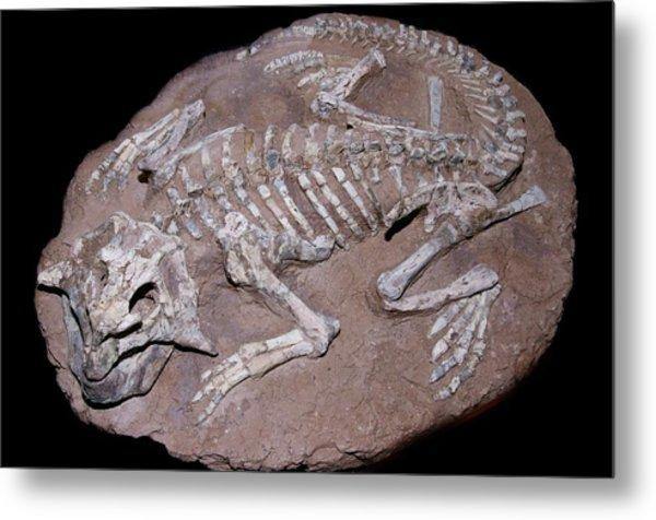 Juvenile Dinosaur Skeleton Metal Print by Sinclair Stammers