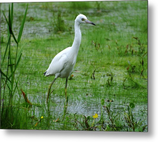 Juvenile Little Blue Heron In Search Of Food Metal Print
