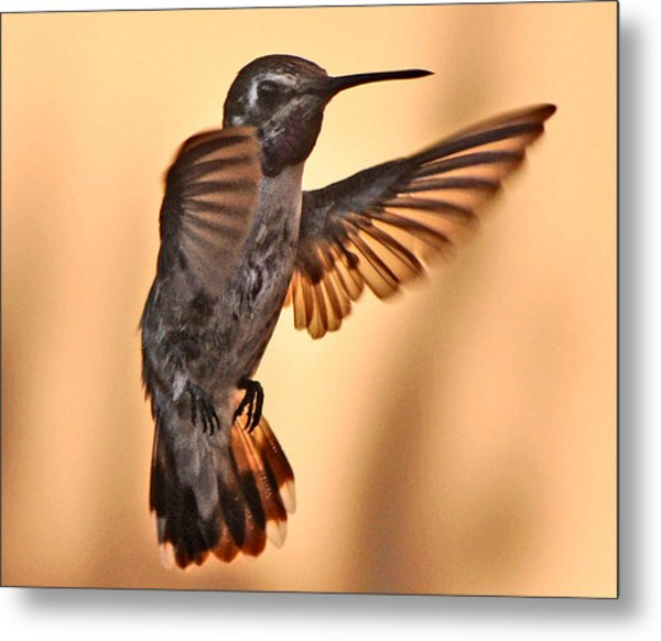 Juvenile Male Anna's In Flight Metal Print
