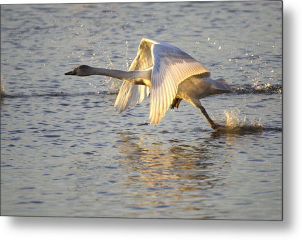Juvenile Whooper Swan Taking Off Metal Print