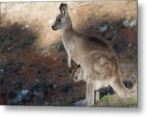 Kangaroo And Joey Metal Print