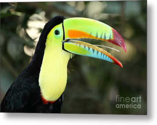Keel Billed Toucan Metal Print