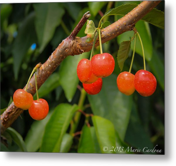 Kelowna Cherries Metal Print by Marie  Cardona