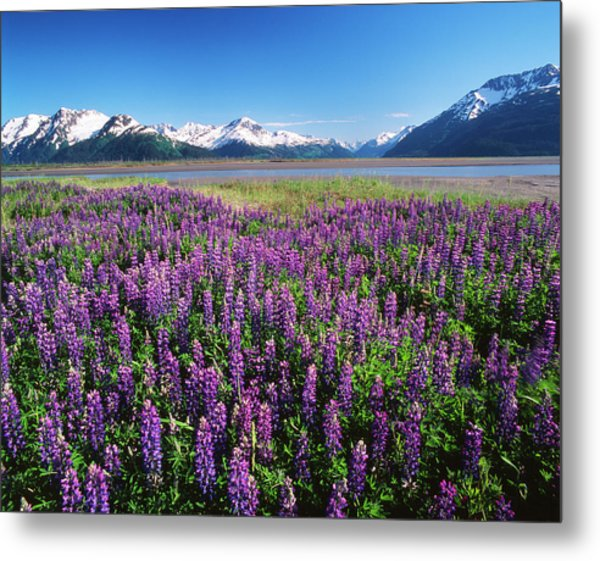 Kenai National Wildlife Refuge, Lupines Metal Print
