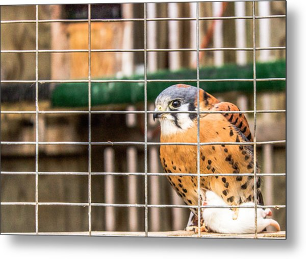 Kestrel And A Headless Mouse Metal Print