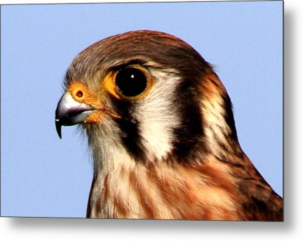 Kestrel Closeup Metal Print