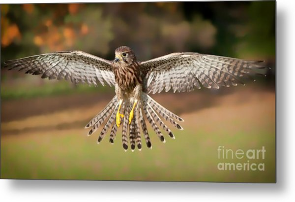 Kestrel Grace Metal Print