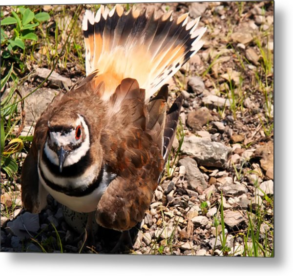 Killdeer On Its Nest Metal Print