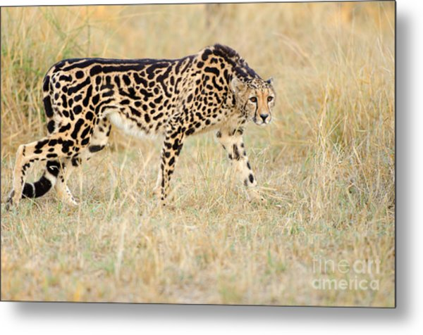 King Cheetah - South Africa Metal Print by Birdimages Photography