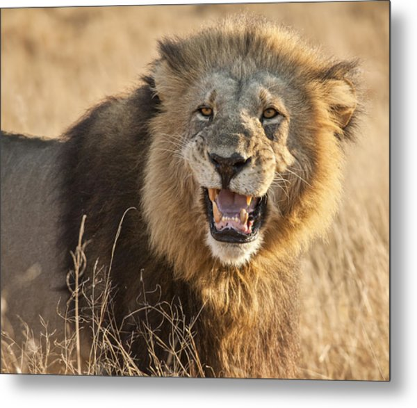 King Of Beasts Metal Print by Jennifer