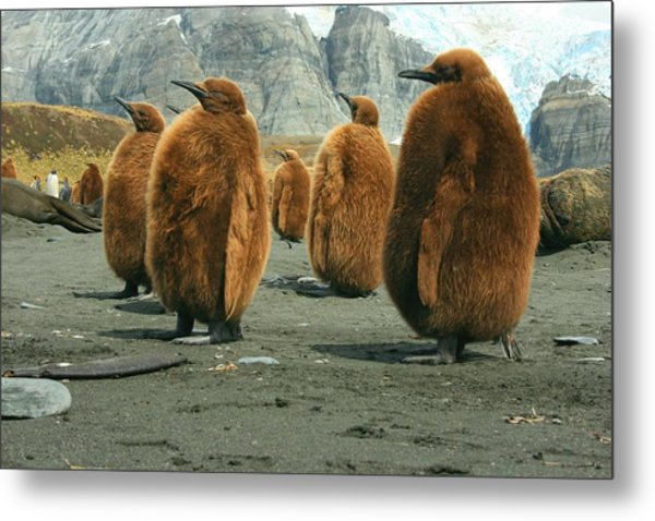 King Penguin Chicks Metal Print
