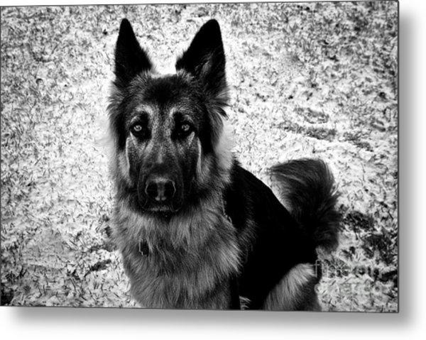 King Shepherd Dog - Monochrome  Metal Print