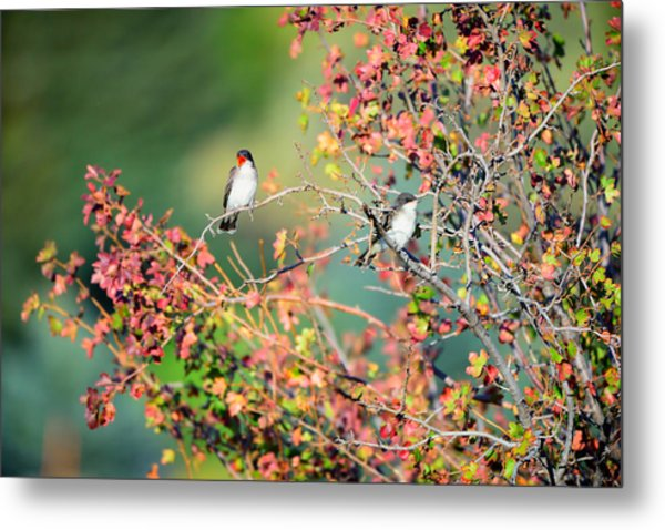 Kingbird Pair Metal Print