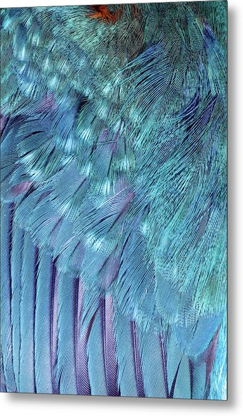 Kingfisher Wing Feathers Metal Print by John Devries/science Photo Library
