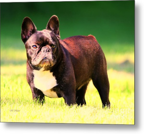 King's Frenchie - French Bulldog Metal Print