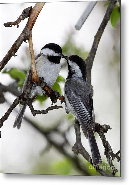 Kissing Chickadees Metal Print