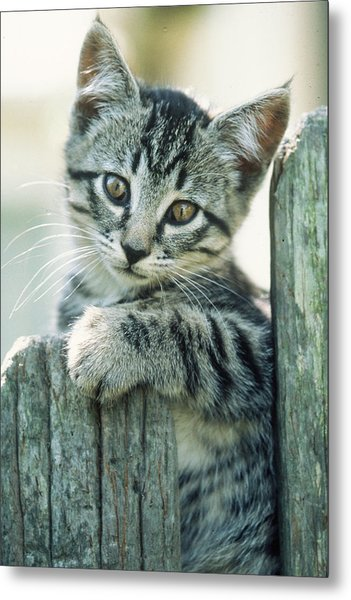 Kitten On Fence Metal Print
