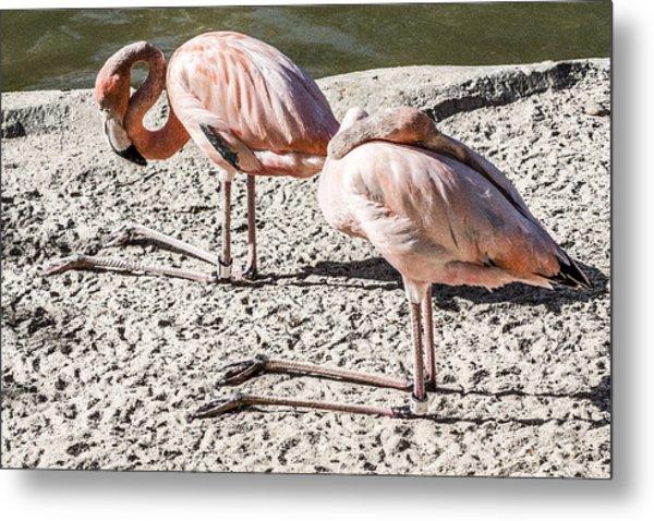 Kneeling Flamingos Metal Print