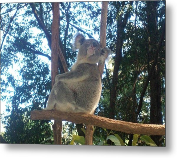 Koala Bear In Australia Metal Print