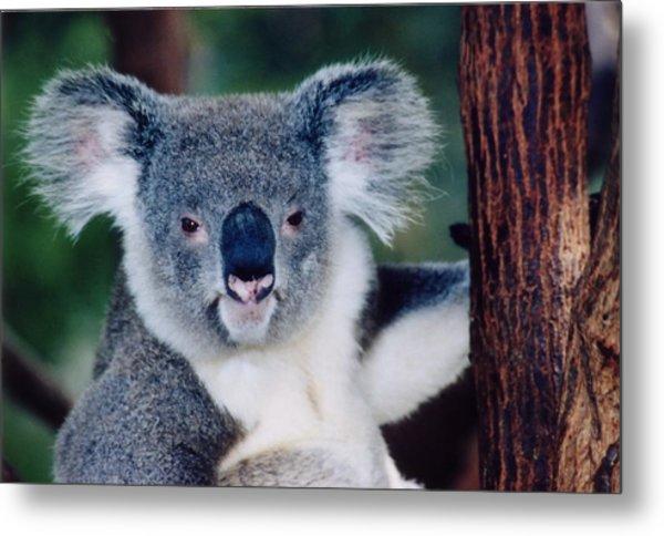 Koala Full Face Metal Print