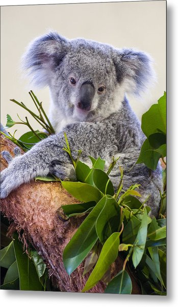 Koala On Top Of A Tree Metal Print