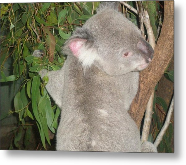Koala In Tree Metal Print
