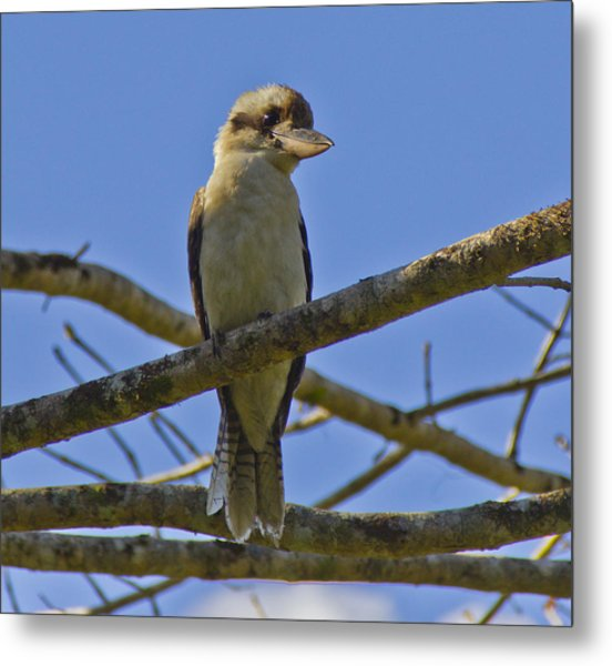 Metal Print featuring the photograph Kookaburra by Debbie Cundy