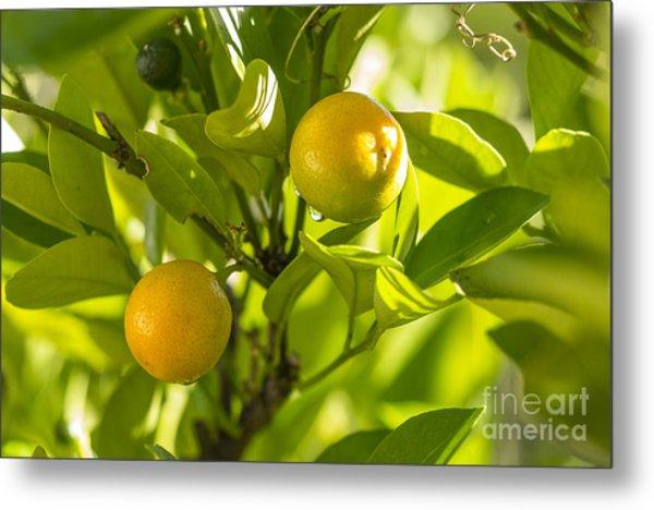 Kumquats Metal Print
