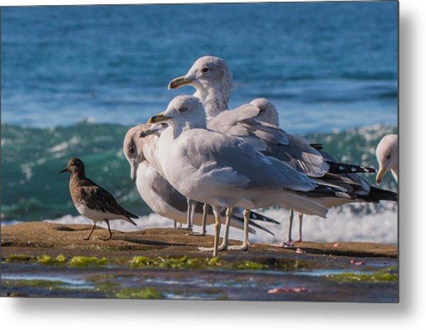 La Jolla Birds Metal Print