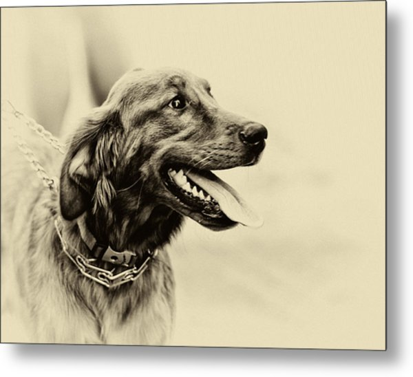 Labrador Retriever Metal Print