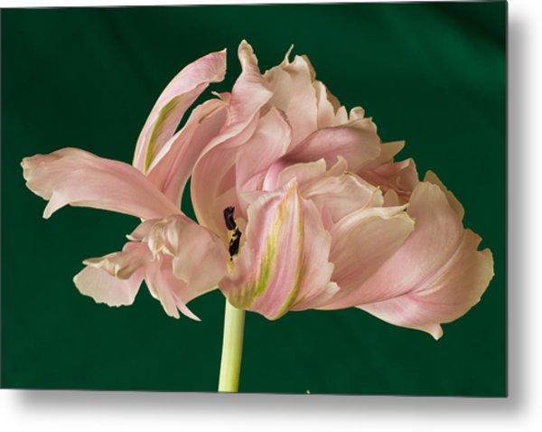 Lacey Tulip Metal Print