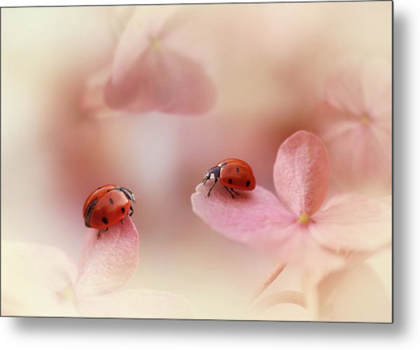 Ladybirds On Pink Hydrangea. Metal Print