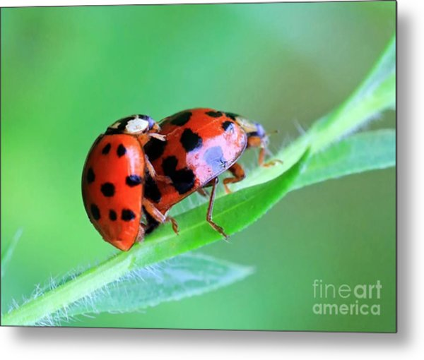 Ladybug And Gentlemanbug Metal Print