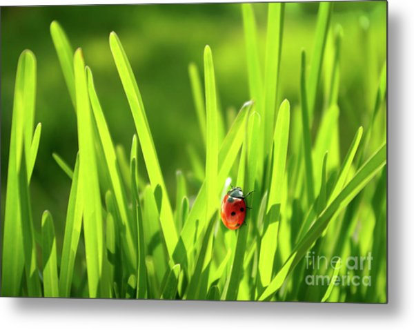 Ladybug In Grass Metal Print