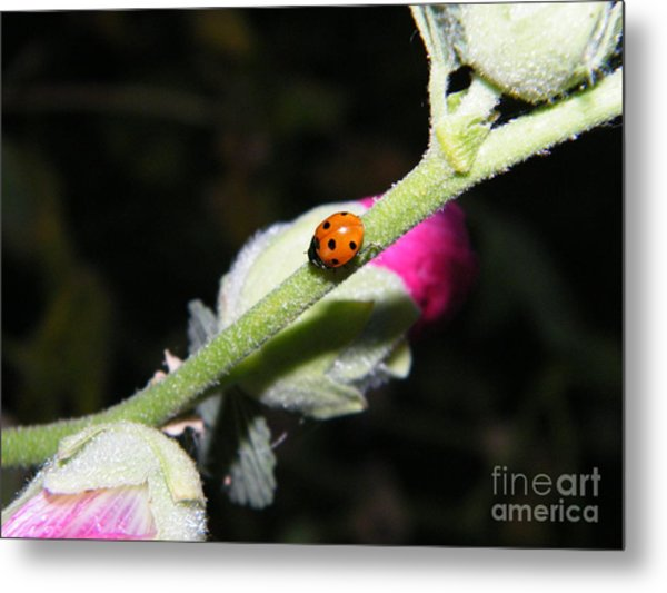 Ladybug Taking An Evening Stroll Metal Print