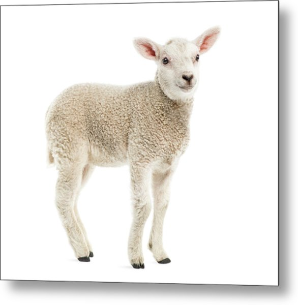Lamb 8 Weeks Old Isolated On White Metal Print by Life On White