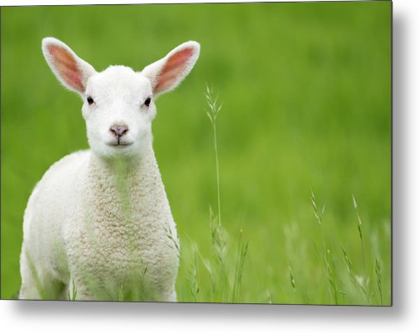 Lamb In A Meadow Metal Print