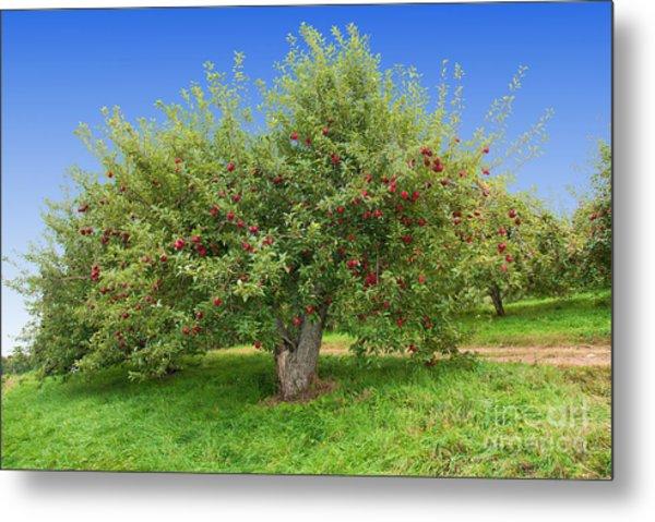 Large Apple Tree Metal Print